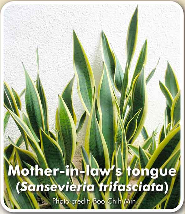 Mother-in-law's tougue (Sansevieria trifasciata)