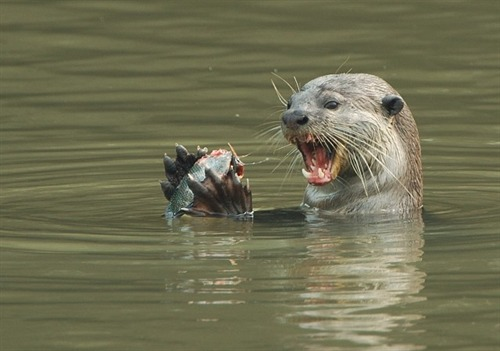 "<span style=""color: #000000;"">Smooth Otters are able to handle food easily with their agile front paws.</span>"
