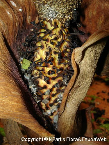 Amorphophallus paeoniifolius, close-up view of dead female flowers