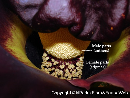 Amorphophallus paeoniifolius, close of interior (male vs. female parts) of flower