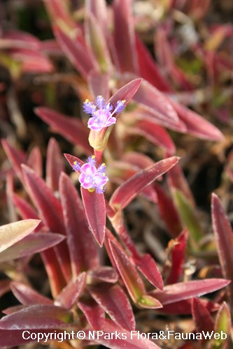 Cyanotis cristata, flowering shoot that is drought-stressed (red leaves)