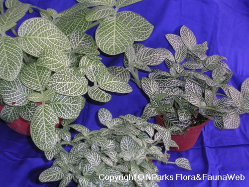 Fittonia albivenis (Argyroneura Group) - potted plants