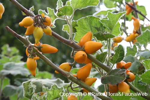Solanum mammosum, ripe fruits on plant