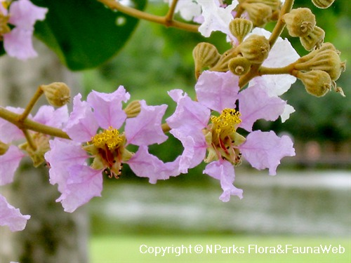 Lagerstroemia floribunda - closeup view of flowers & buds