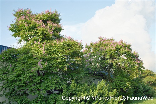 Lagerstroemia speciosa - blooming trees