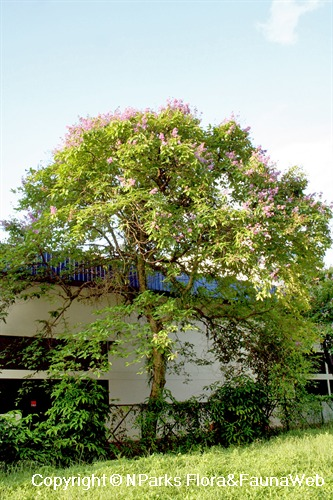 Lagerstroemia speciosa - blooming tree