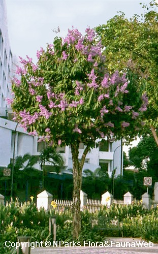 Lagerstroemia speciosa - blooming landscape tree