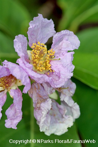 Lagerstroemia speciosa - fresh flower with yellow stamens