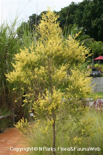 Melaleuca bracteata 'Revolution Gold', young tree