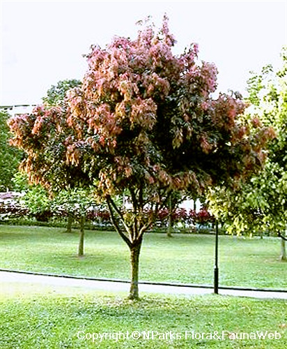 Mesua ferrea - tree covered with flush of reddish young leaves