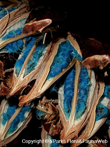 Ravenala madagascariensis, view of electric blue furry seeds