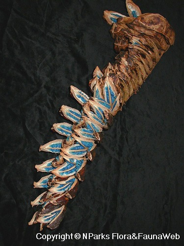 Ravenala madagascariensis, seed pods with blue seeds