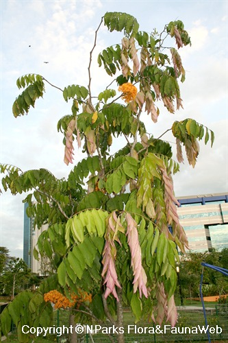 Saraca thaipingensis - flowering tree with pendulous young leaves