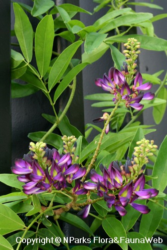 Callerya reticulata, flowering plant grown on trellis