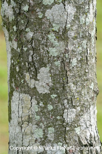 Dillenia excelsa - grey trunk