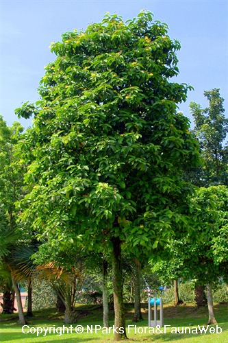 Dillenia excelsa - tree in parkland