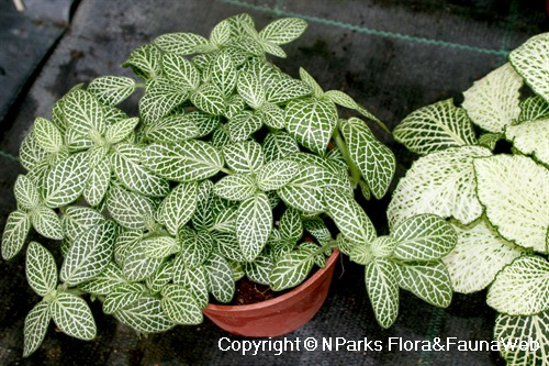Fittonia albivenis (Argyroneura Group) 'White Angel' - potted plant