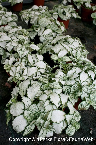 Fittonia albivenis (Argyroneura Group) 'White Star' - potted plants