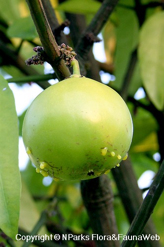 Garcinia sp. - unripe fruit leaking yellow latex from wounds