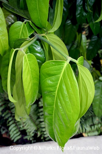 Garcinia sp. - pendulous leaves & angled branchlets