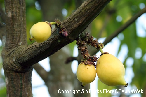 Garcinia sp. - ripening fruits