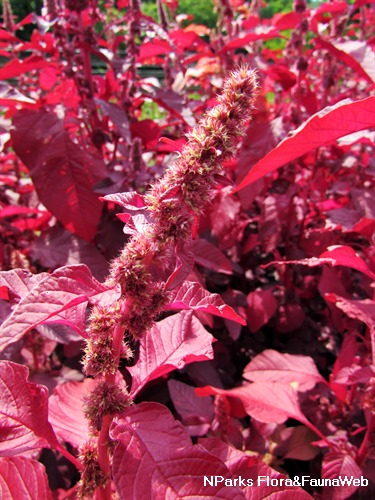 Amaranthus tricolor 'Red Army' Inflorescence