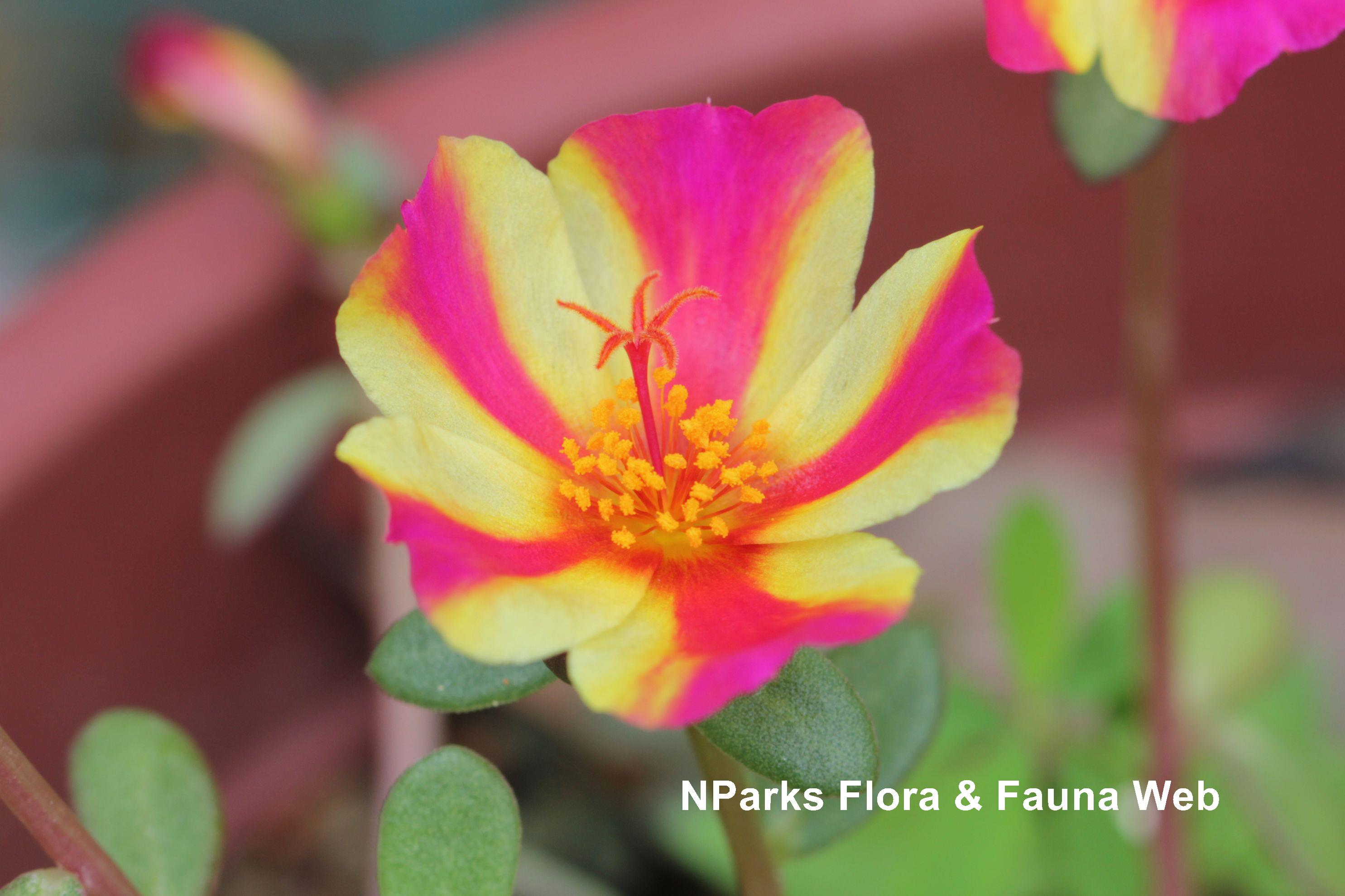 Portulaca_ColorBlast_Watermelon_Punch