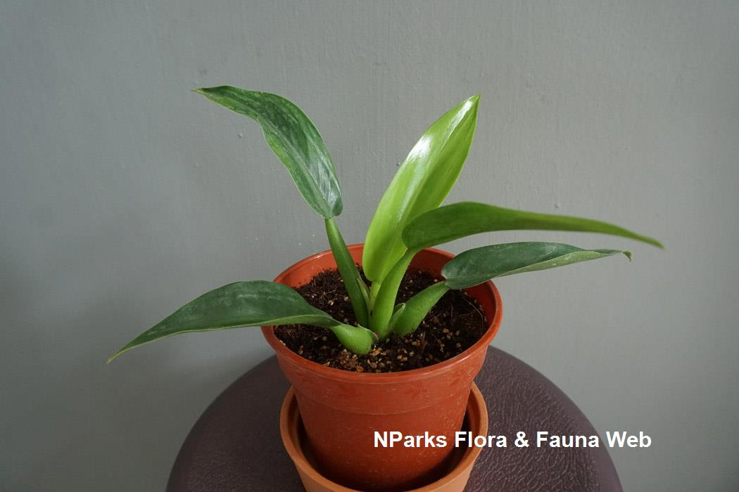 Philodendron martianum 'Fat Boy'