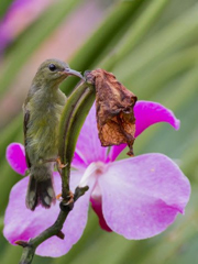 Identifying the Sunbirds of Singapore