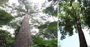 Conserving Tropical Forest Giants - 1