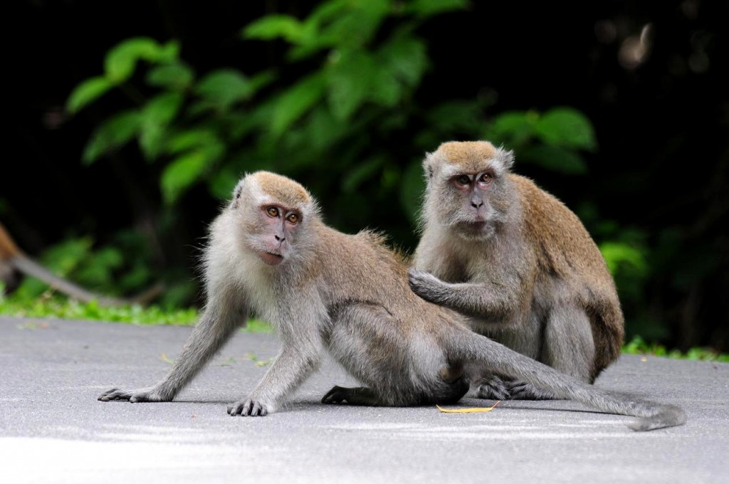 Monkey Musings: Respecting Singapore's Long-tailed Macaque