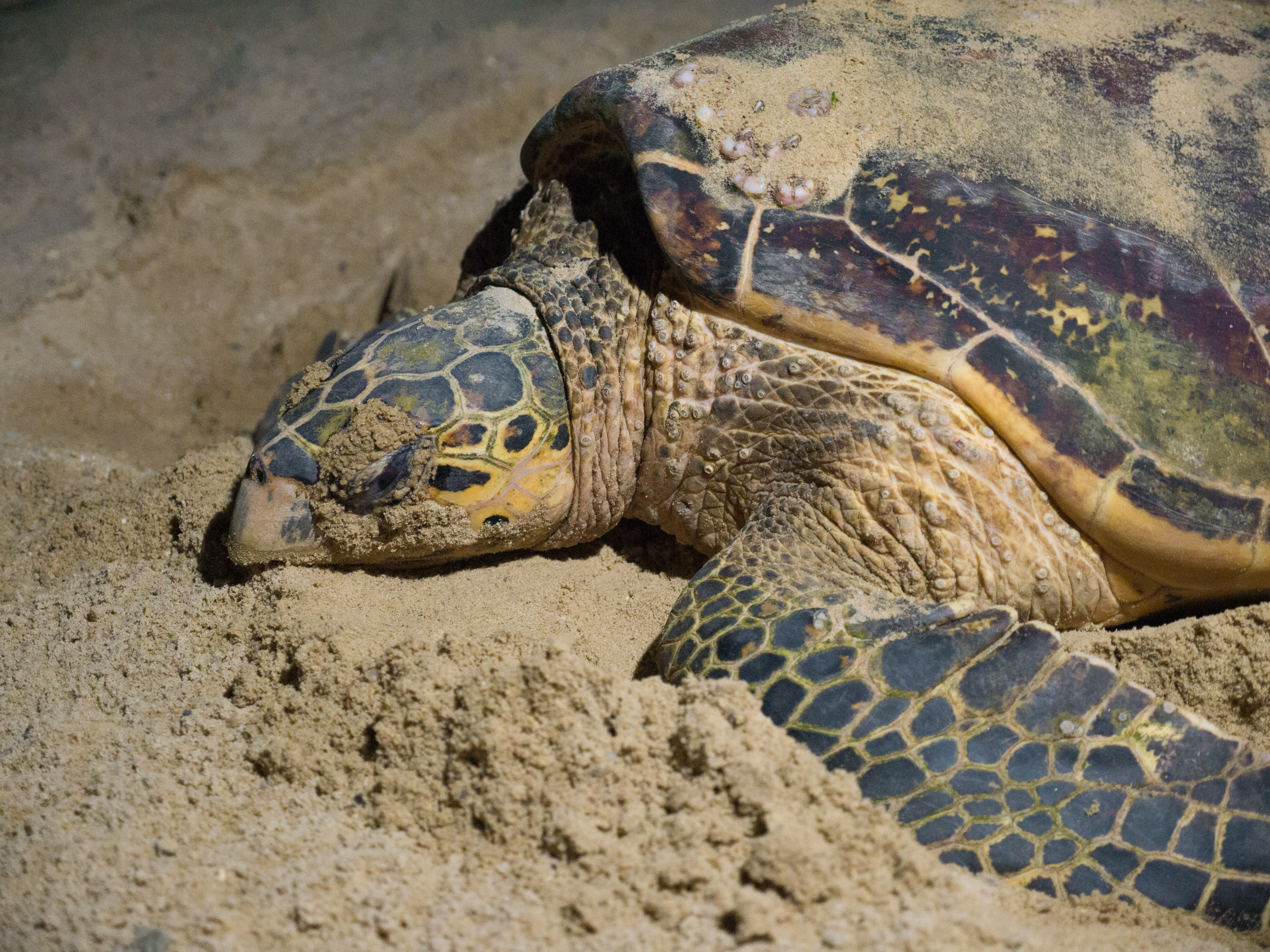 Mother Hawksbill Turtle