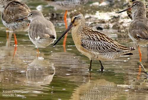 Asian Dowitcher Mendis Tan