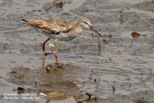Common Redshank Mendis Tan