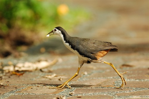 White breasted Waterhen Lin Yangchen