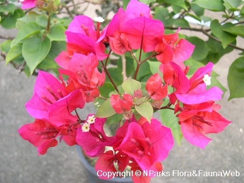 Bougainvillea: Colouring Our Streets