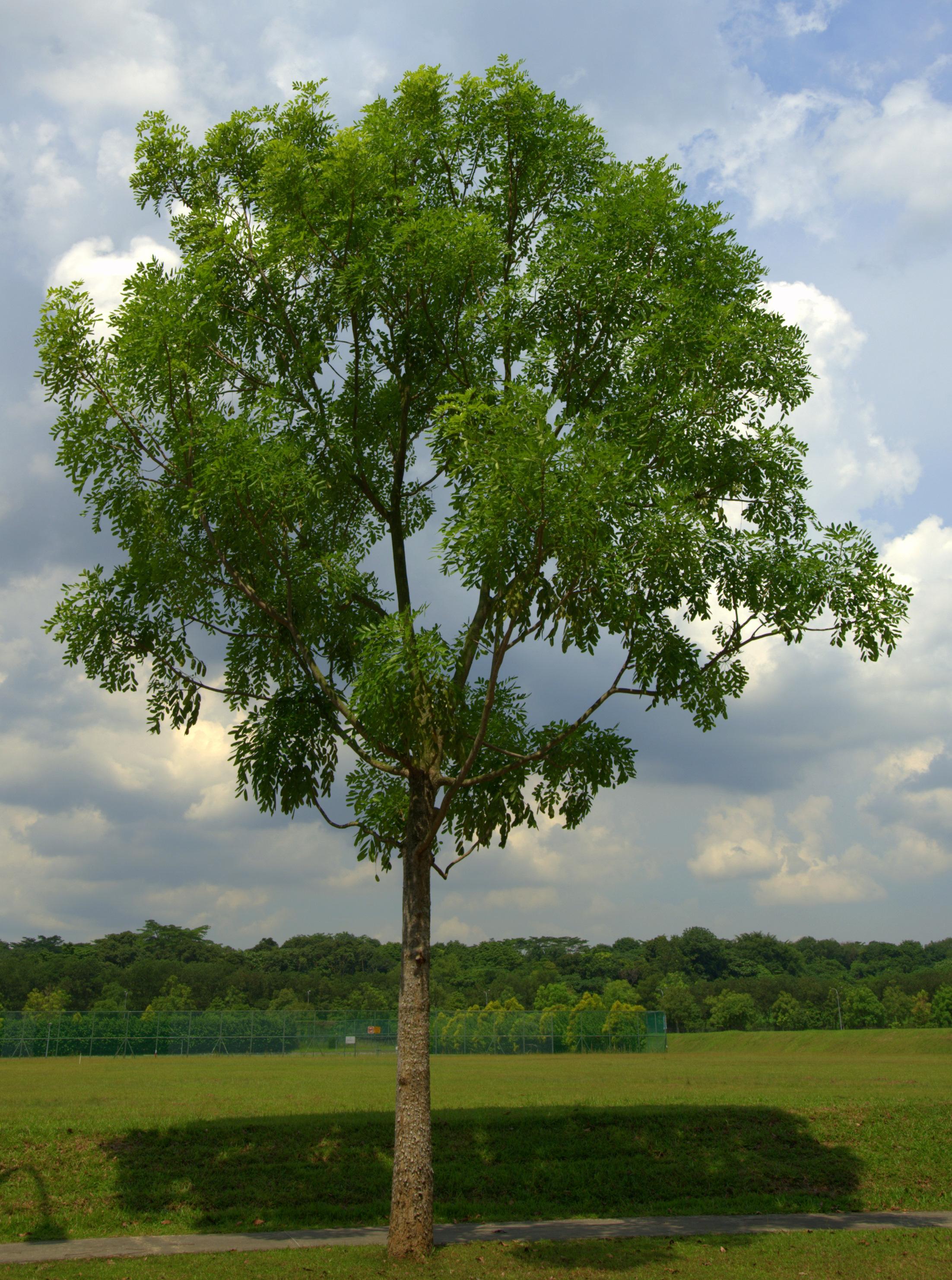 Photos of mahogany tree Minwax Wood Putty, 3.75 Ounce, Mahogany