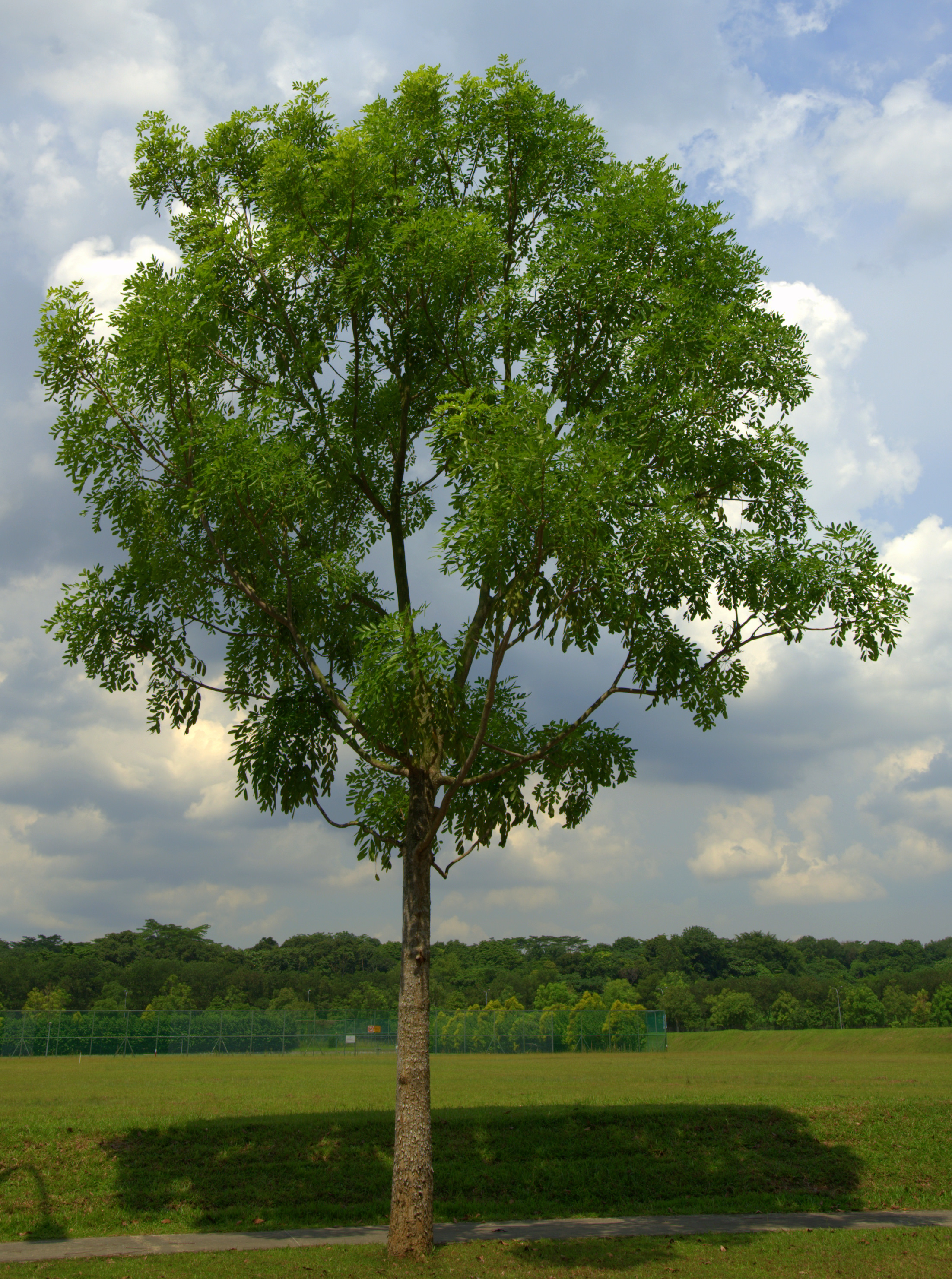 4 Senegal Mahogany Know 10 Trees Recommended
