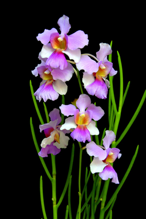Vanda Miss Joaquim Our National Flower Recommended