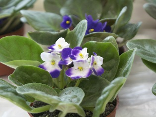 Beautiful Indoor Plants: Begonias and African Violets_315px