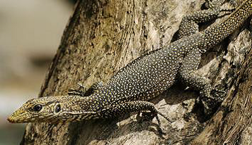 Monitor Lizards - Animal Encounters - Do's and Don'ts