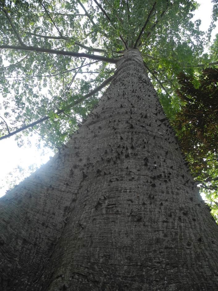 Kapok Tree - Heritage Trees - Gardens, Parks & Nature