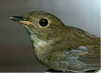 Brownchested Jungle Flycatcher