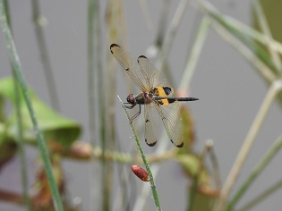 30 Nov Dragons and damsels in our wetland