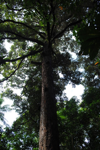 Durian - Heritage Trees - Gardens, Parks & Nature - National
