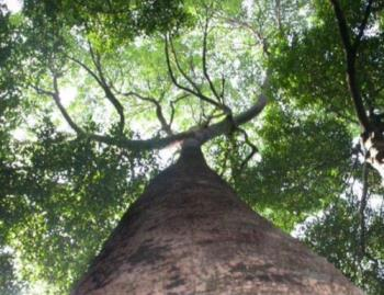 Image of the canopy at the Rain Forest.