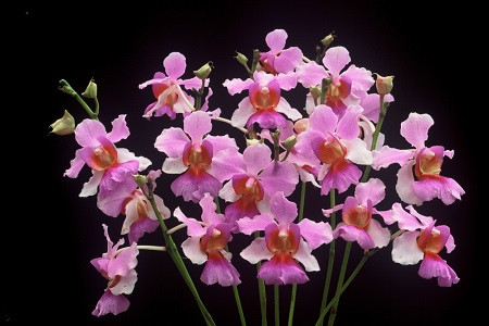 Image of Vanda Miss Joaqium, Singapore National Flower.