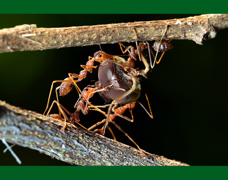 Ants carrying prey with excellent teamwork