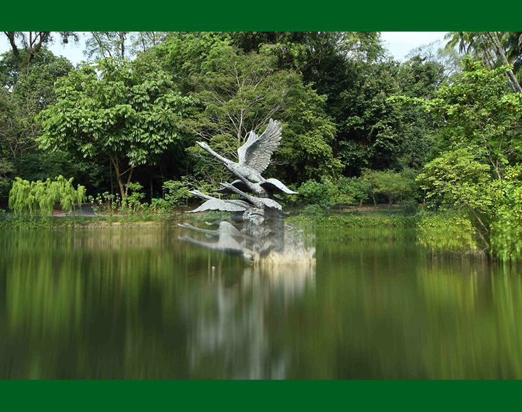 Flight of Swans at Swan Lake of the Singapore Botanic Gardens