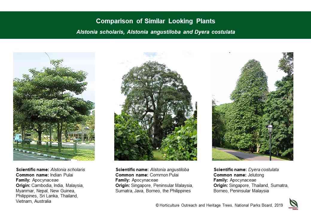 Alstonia scholaris ID comparison resource